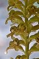 Квіти гніздівки.jpg