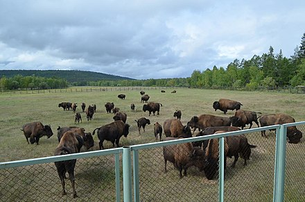 Wood bison reintroduction program in Sakha Republic. Kruiz Iakutsk - Lenskie stolby - Tiksi - Iakutsk, 2017 (043).jpg