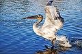 Кудрявый пеликан перед взлетом.jpg