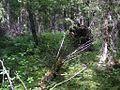 Лес близ Красной Горки - panoramio.jpg