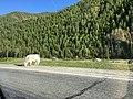 Сарлык - уникальное домашнее животное горного Алтая.jpg