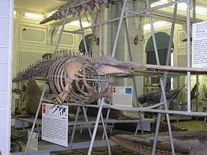 Narwhal - Complete skeleton at the Zoological Museum of the Zoological Institute of the Russian Academy of Sciences