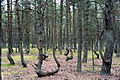 Танцующий лес 01 Куршская коса.jpg