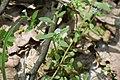 Теліженецький ліс Незабудка DSC 0059.jpg