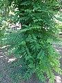 Фелодендрон, Ботаничка башта Јевремовац, 02.JPG