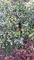 """Цитрусовые в саду """"Дерево Дружбы"""".jpg"""