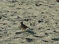Чучулига на плаж.jpg