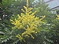 全緣葉欒樹(黃山欒樹) Koelreuteria bipinnata v integrifoliola -杭州紫金港 Hangzhou, China- (9216085742).jpg