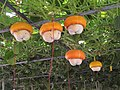 南瓜 Pumpkins - panoramio (2).jpg