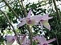 天宮石斛 Dendrobium aphyllum -比利時國家植物園 Belgium National Botanic Garden- (9255175974).jpg