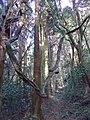 奇怪にねじれた木々 - panoramio.jpg
