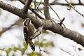 小啄木鳥 (31475054384).jpg
