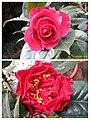 山茶雲茶雜交 Camellia (reticulata x japonica) cultivars -昆明植物園 Kunming Botanic Gardens, China- (26410856308).jpg