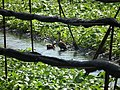山葵田中之水鴨 Ducks in the Wasabi Field - panoramio.jpg