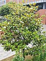 无锡的一个柚子树.jpg