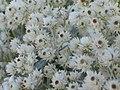 珠光香青 Anaphalis margaritacea -英格蘭 Brockhole, England- (9240278984).jpg
