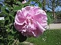 白玫瑰 (Alba rose) Rosa Konigin Von Danemark -巴黎植物園 Jardin des Plantes, Paris- (11324203474).jpg