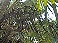 藍脈葵 Latania loddigesii -新加坡植物園 Singapore Botanic Gardens- (15347473957).jpg