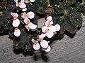 蛤蟆秋海棠 Begonia rex Etna -香港公園 Hong Kong Park- (9237480675).jpg