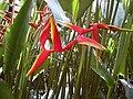 蝎尾蕉屬 Heliconia bihai x marginata -新加坡植物園 Singapore Botanic Gardens- (14913315343).jpg