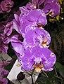 蝴蝶蘭-富樂之星 Phalaenopsis Fuller's 3545 -香港蘭花節 Hong Kong Orchid Festival- (41478732902).jpg