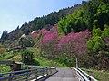 西吉野町十日市にて Lily magnolia 2013.4.05 - panoramio.jpg