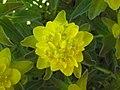 金黃大戟 Euphorbia polychroma -德國 Titisee, Germany- (9216110162).jpg