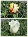 鬱金香 Tulipa cultivars -荷蘭園藝展 Venlo Floriade, Holland- (15346862439).jpg