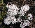 黃楊葉石南 Leiophyllum buxifolium -比利時國家植物園 Belgium National Botanic Garden- (9240276948).jpg