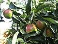 -2019-08-07 Apples, Trimingham.JPG