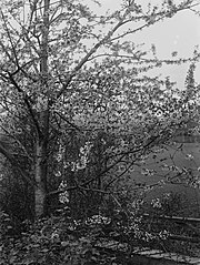 A tree in blossom (photograph)