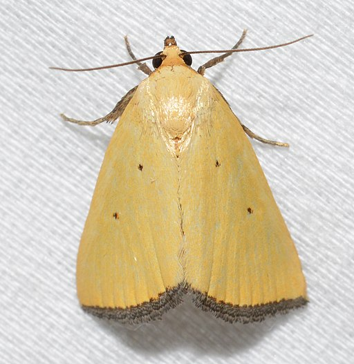 - 9044 – Marimatha nigrofimbria – Black-bordered Lemon Moth (44108414582)