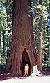 00 0287 Sequoia sempervirens - California Pacific Coast.jpg