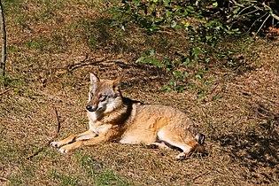 00 3917 Wolf im Wildgehege.jpg