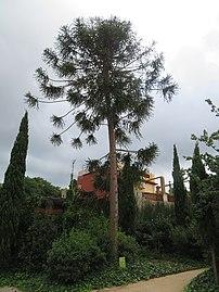 0154-03-11 Pi bunya - Jardins del Teatre Grec 2.jpg