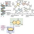 0322 DNA Nucleotides.sr.jpg