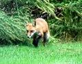 040 Red Fox (8057816790).jpg