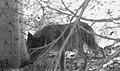 0698 lactating female wolf eagle cap odfw (17293788361).jpg