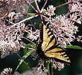 087e2 Eastern Tiger Swallowtail.jpg