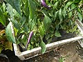 0998Ornamental plants in the Philippines 03.jpg