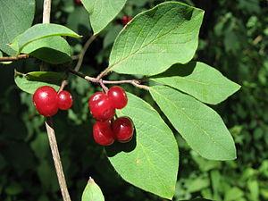 1009 - Obertraun-Winkle - Berries