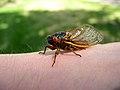 17-Year Periodical Cicada - Brood XIII (Magicicada sp.) - Flickr - Jay Sturner (7).jpg