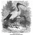 1862 ibis Aquarial and ZoologicalGardens Boston Ballous.png
