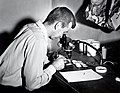 1955. Binocular microscope to identify larvaevorid puparia from spruce budworm rearing. V.M. Carolin at microscope. Field Lab. Union, Oregon. (32620203544).jpg