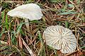 2010-11-27 Marasmius wynneae Berk. & Broome 123199.jpg