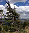 2013-07-12 14 01 15 Gnarled Whitebark Pine in the Copper Mountains of Nevada.jpg