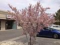 2014-04-21 12 35 37 Flowering plum in Elko, Nevada.JPG