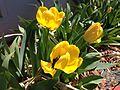 2014-05-02 14 14 43 Tulips in Elko, Nevada.JPG