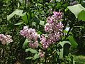 2014-05-12 13 04 50 Lilac blossoms along Lower Ferry Road in Ewing, New Jersey.JPG