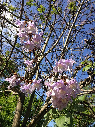 Paulownia tomentosa - Flowers and young leaves